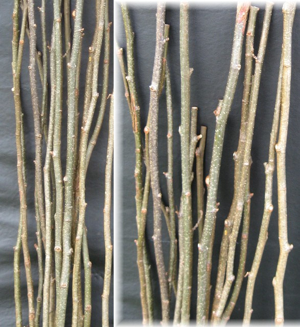 L) Alder Straight Stems. half inch thick 80 per case