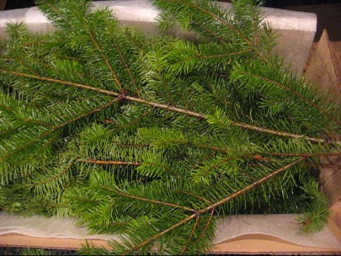 Douglas Fir Boughs or Fir Branches