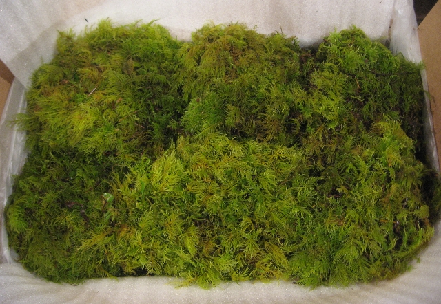 G) Small Fresh Feather Moss, Fern Moss Case