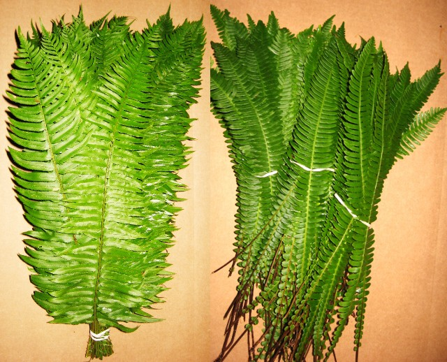 Deer Fern & Sword Fern Mix OUT OF SEASON