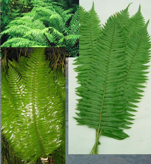 Sword Fern Small case 150 stems