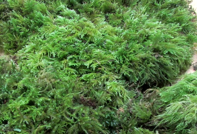 C) Large Fresh Feather Moss, Fern Moss Case