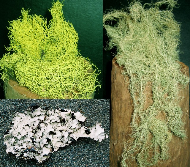 A) Large Bag Dried Lichen Assortment