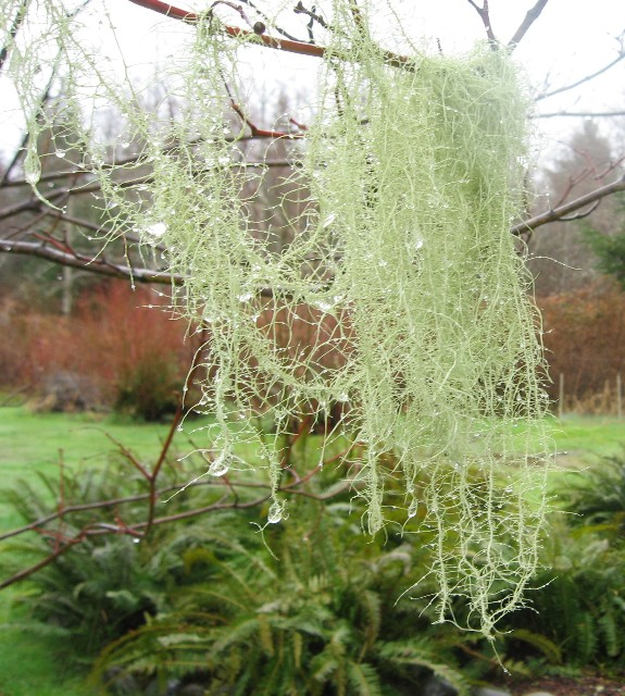 G) Old Man's Beard 1-quart bag lichen sticks