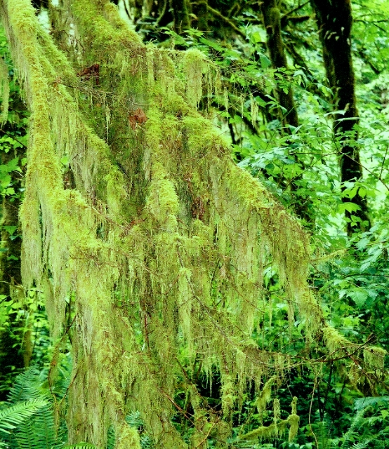 J) Mossy Branches (Lacy)