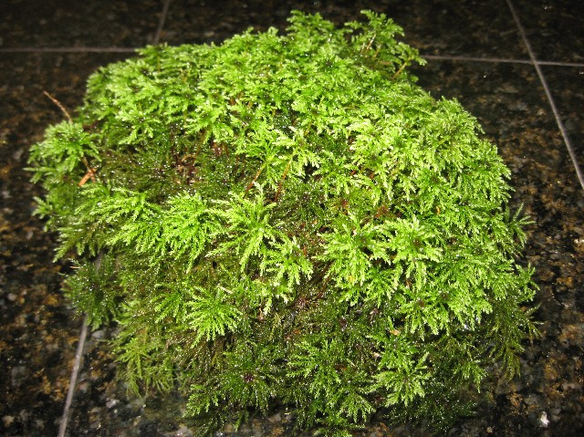 Palm Moss LARGE CASE 24x12x12