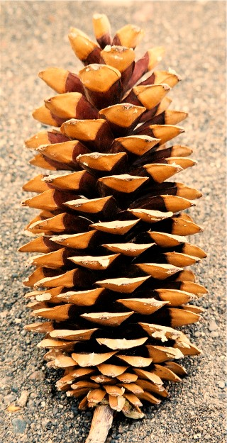 C) Sugar Pine Cones/ 20 cones per case SOLD OUT