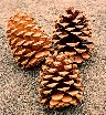 D) Ponderosa Pine Cones. approx. 140 SOLD OUT