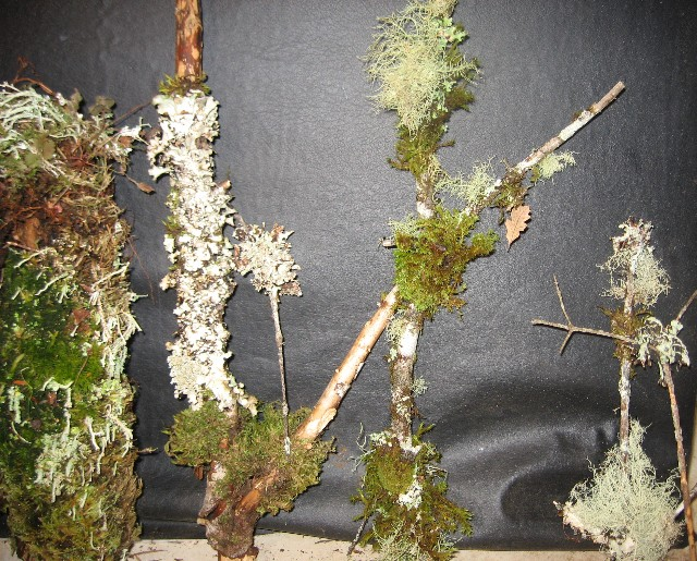 asst lichen branches 18 inches to 3 feet tall