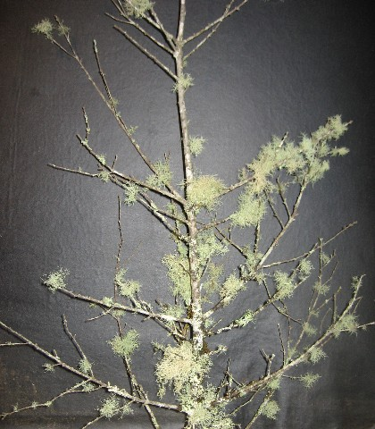 C) NEW! Asst. Lichen Branches 18 inches to 3 feet tall!